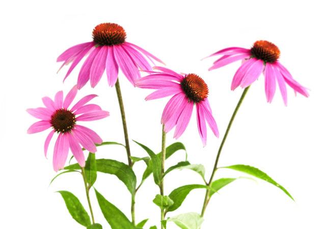Галеновые лекарственные препараты отличаются тем, что в их состав входит вся совокупность веществ, присутствующих в растительном или животном сырье, использованном для получения лекарства